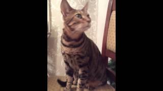 Домашние питомцы : кот породы Серенгети , мои домашние питомцы , кот леопард