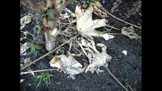 видео Выращивание клещевины в Средней полосе.