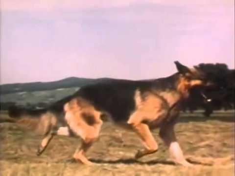 The German Shepherd Dog - Anatomy and movement