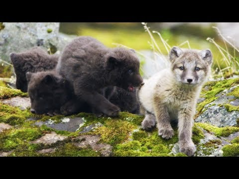 Arctic Fox Cubs Emerge from the Den | First Year on Earth | BBC Earth