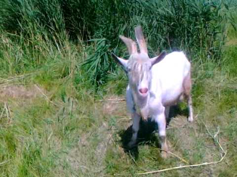 коза пьёт воду