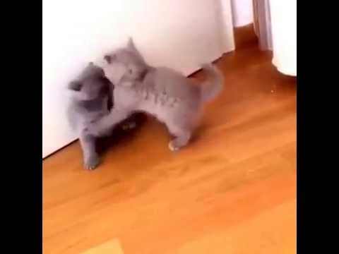 Real Kitten Wrestling | Cute Kittens Fights With Each Other