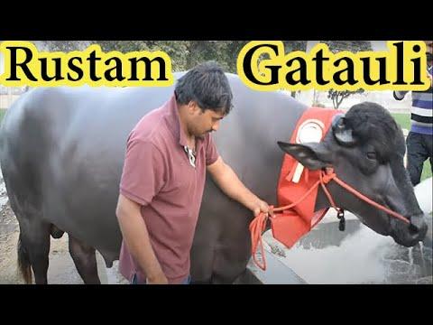 Rustam Gatauli - The Champion Murrah bull from Haryana