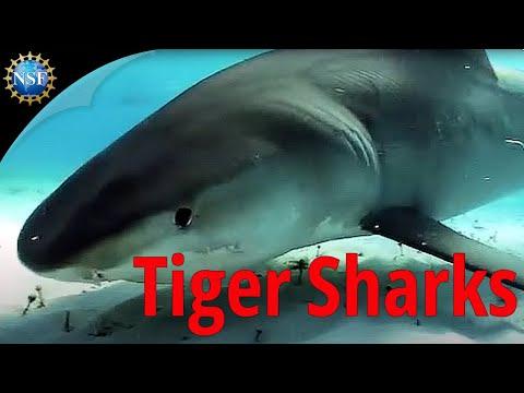How tiger sharks affect Shark Bay's ecosystem