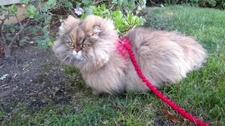 13 01 16 Persian kitty, Gypsy Rose, in her new walking jacket
