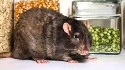 Rodent Control | Cave Creek, AZ – Cummings Termite & Pest Control