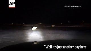Runway Inspector Finds Polar Bears at AK Airport