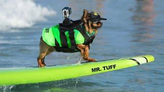 Mr Tuff Surf Dog International Surf Dog Walk Of Fame