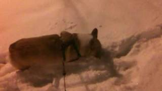 Corgi Snow Jogging