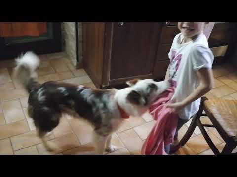 Rysa (border collie) and Deril (laekenois) help Timea to undress