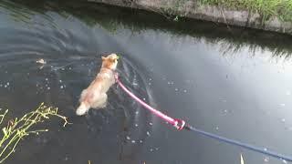 流れてきたピーマンをくわえて泳ぐ山陰柴犬モモ。