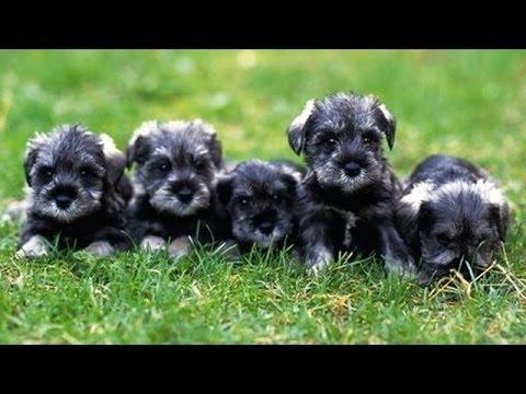60 Seconds Of Cute Miniature Schnauzer Puppies!
