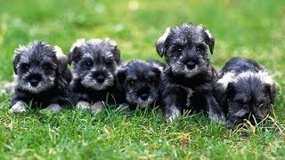 60 Seconds Of Cute Miniature Schnauzer Puppies!