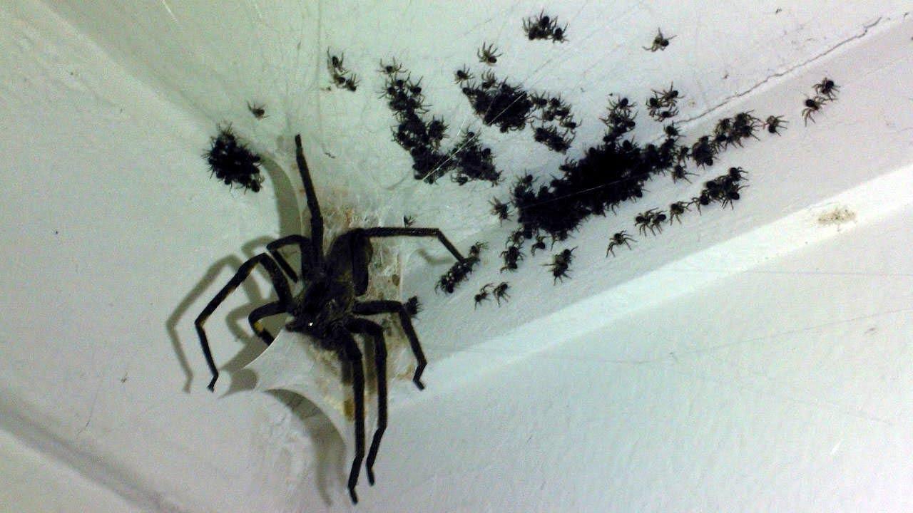 Самые опасные и смертоносные пауки в мире! С такими лучше ...