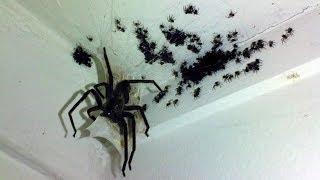 Самые опасные и смертоносные пауки в мире! С ТАКИМИ ЛУЧШЕ НЕ ВСТРЕЧАТЬСЯ