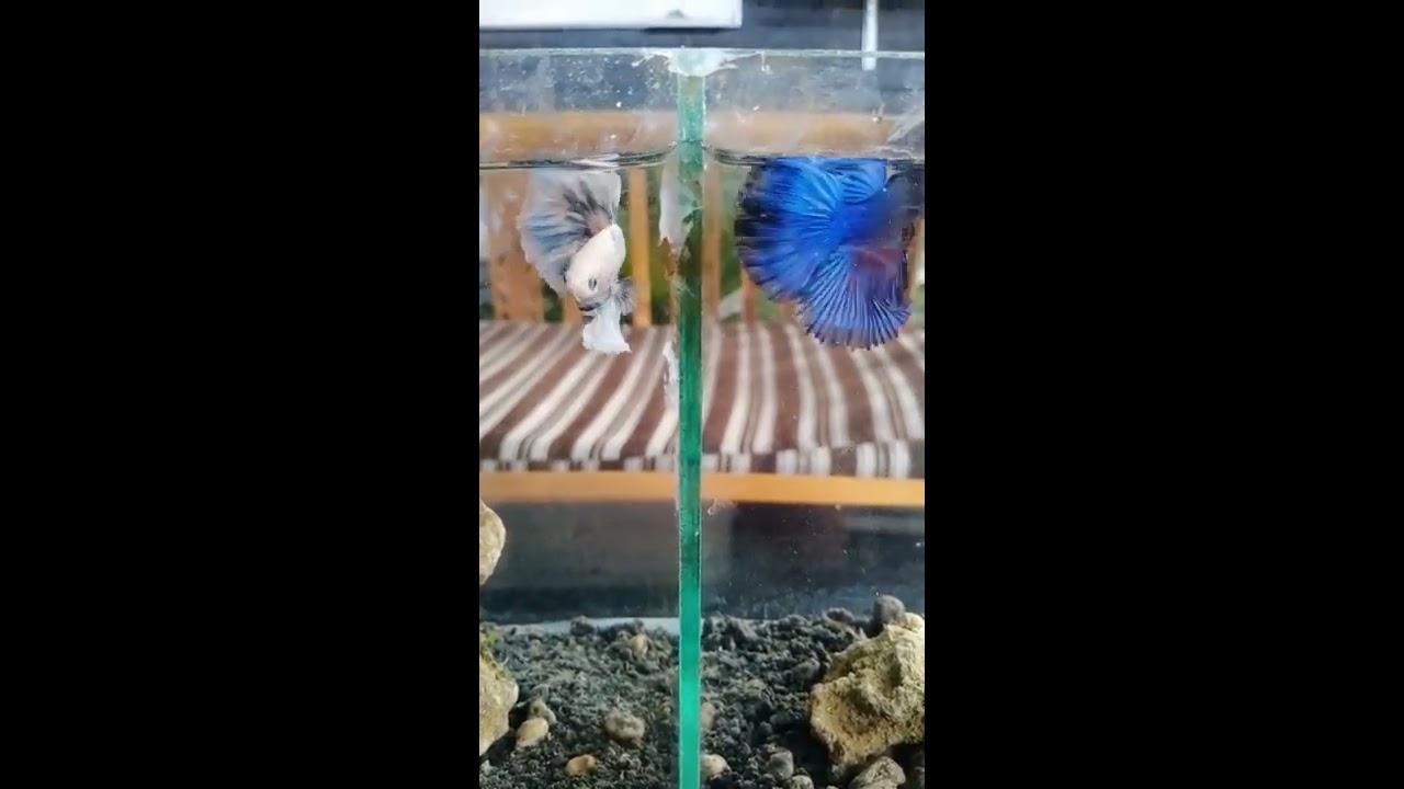Ikan Cupang White Platinum