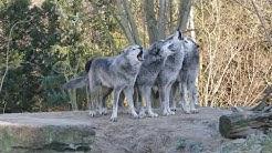 Schaurig schönes Wolfsgeheul