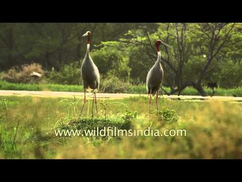 Sarus cranes from Indian Subcontinent