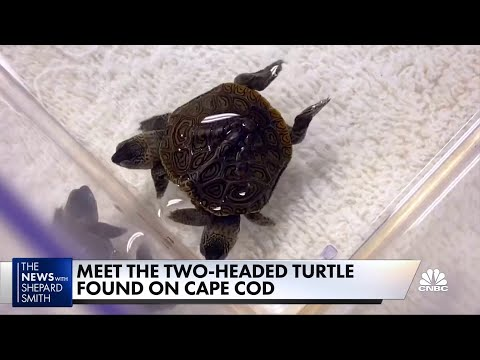 WATCH: Shep Smith Presents First Video of That Adorable/Nightmarish 2-Headed Turtle — Including X-Rays