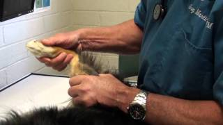 Limping Dog On A Rear Leg: Things To Consider