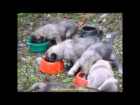 2012 Colombia   Zona Cafetera, Armenia, Finca La Cabana, Vidéos des Chiots, Cachorros