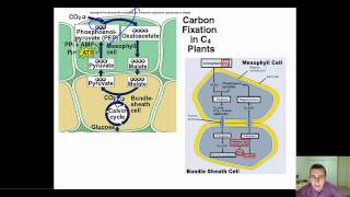detailed view of c4 cam plant adaptations