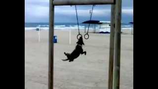 perro gimnasta dog loves gymnastic rings original