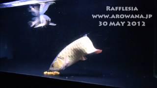 衝撃映像?!アジアアロワナの産卵2 By Rafflesia  arowana breeding 2012