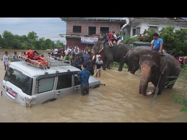 Elephants rescue tourists stranded by floods in Nepal