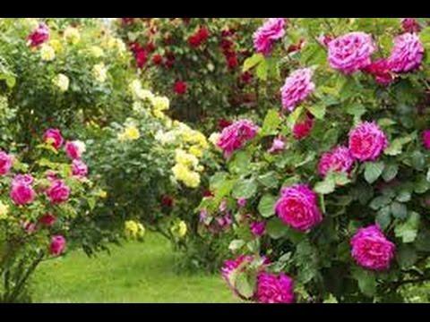 Como hacer un jardin de rosas youtube - Hacer un jardin ...