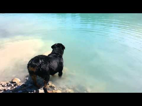 Rottweiler swimming