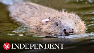 Beavers build first dam in Exmoor in more than 400 years