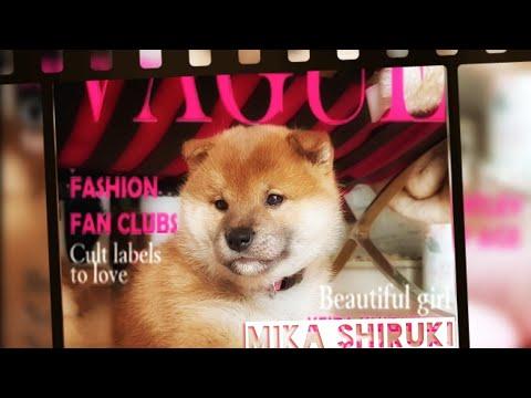 My life is potato. Ep 25 / Shiba Inu puppies / Douge&Gabbana