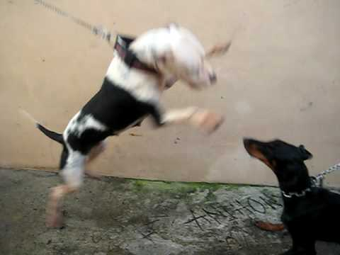 PITBULL VS DOBERMAN - YouTube