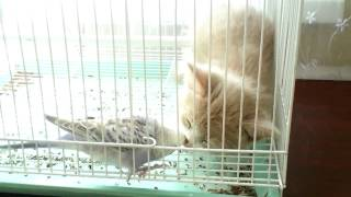 Попугай пристаёт к коту