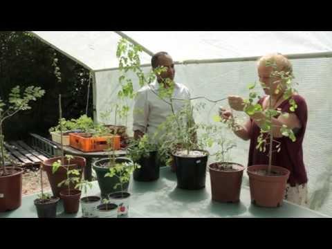 Moringa Baum in Deutschland pflanzen