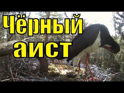 Чёрный аист птицы красной книги