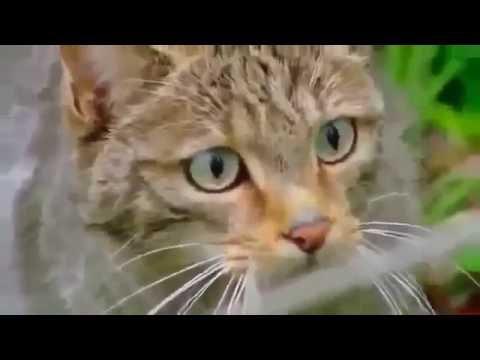Animal planet 2016 -  Wild cat Wildlife Documentary   !!
