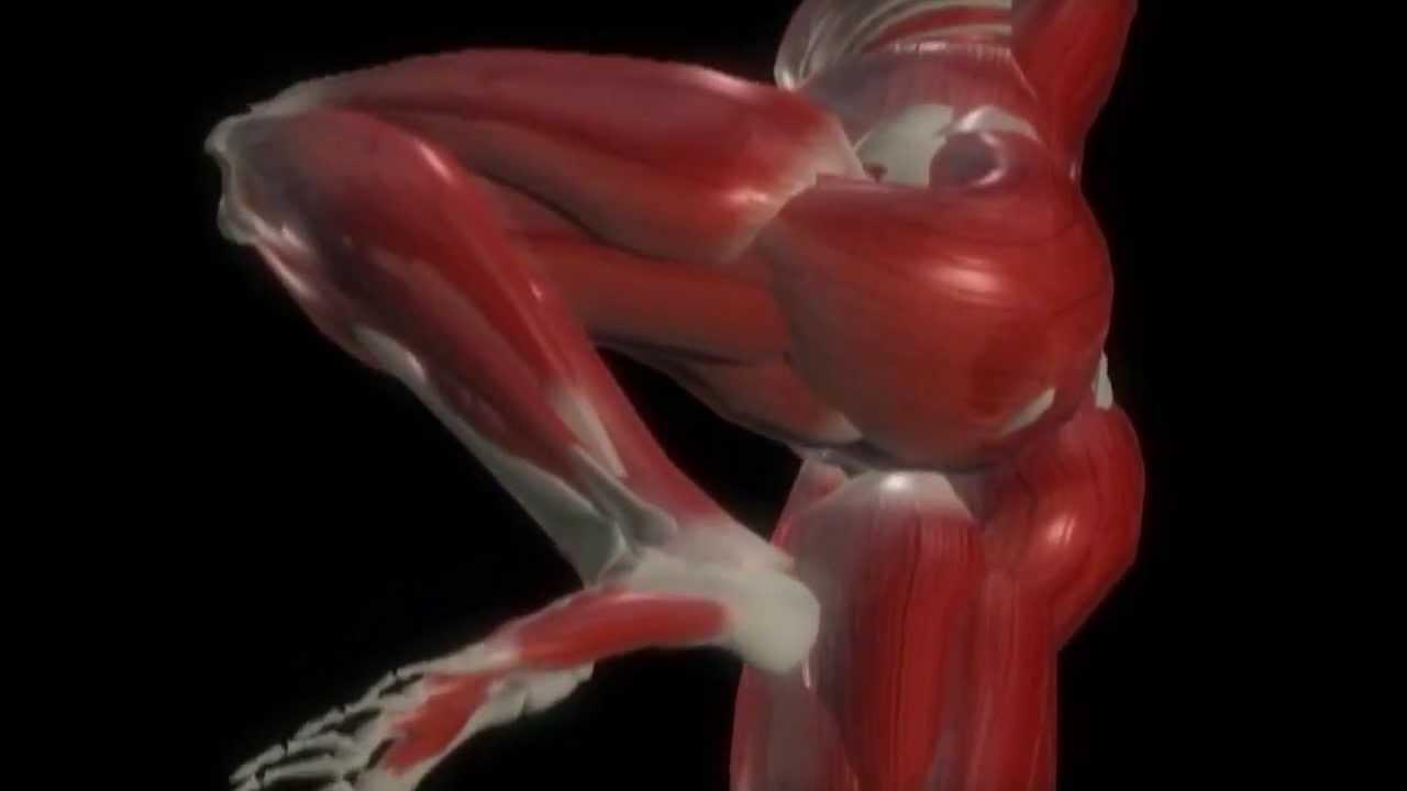musculos Pierna simulación 3D - YouTube