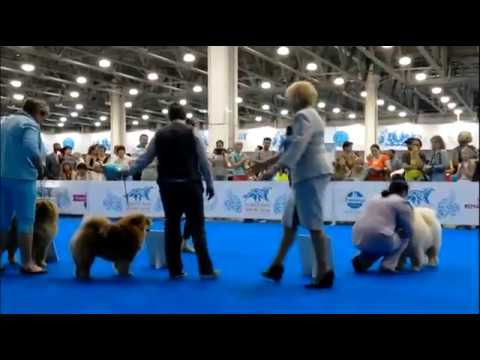 """ WORLD DOG SHOW 16""  Moscow 24.06.2016 SPECIAL CHOW-CHOW"