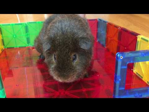 5 Fun and Easy Ways to Transport Your Guinea Pig