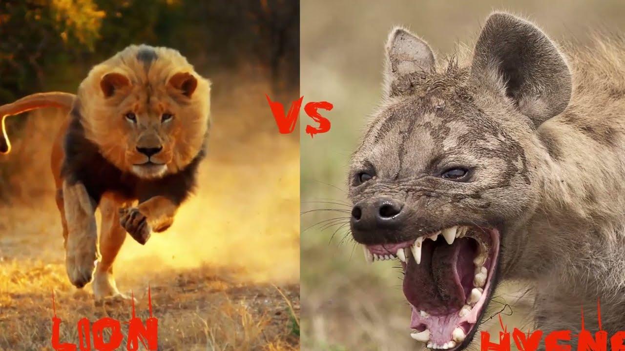 Préférence 10 Combats d'Animaux sauvages les Plus Impressionnants en Vidéo  WL39