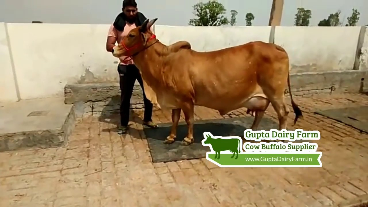 Sahiwal Cow Supplier in Karnal @9034455583 ¦¦ Cow Buffalo Supplier All India by Gupta Dairy Farm