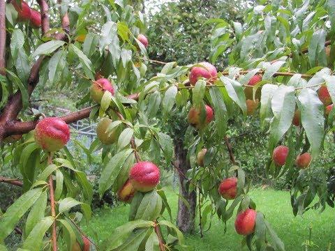 Чтоб персики были крупными и сладкими. Нормировка урожая.