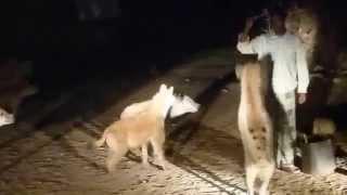 Etiopia - hieny w Harar