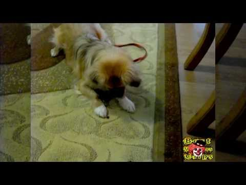 Dog vs Fly vs Me (Tibetan Spaniel)