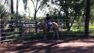 "Splash Palomino Horse training & breaking in - TESTING THE ""DANGEROUS HORSE"" CLAIM 2"