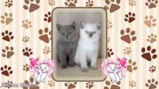 Британские котята. Красивые котята. Милые котята. Купить котенка. питомник House Arletta British