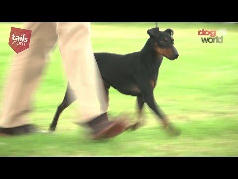 Windsor Dog Show 2016 - Terrier group - Shortlist