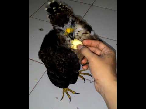 Si elang pemakan buah Sikep Madu, Honey Blizzard Eagle  - FALCONRY